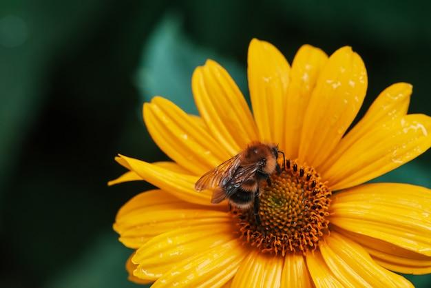 Bumblebee lanuginoso sul fiore giallo succoso. impollinazione del bellissimo topinambur di fioritura.