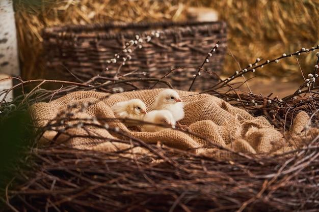 Buona pasqua! i pulcini lanuginosi svegli gialli sono seduti in un nido sul licenziamento.