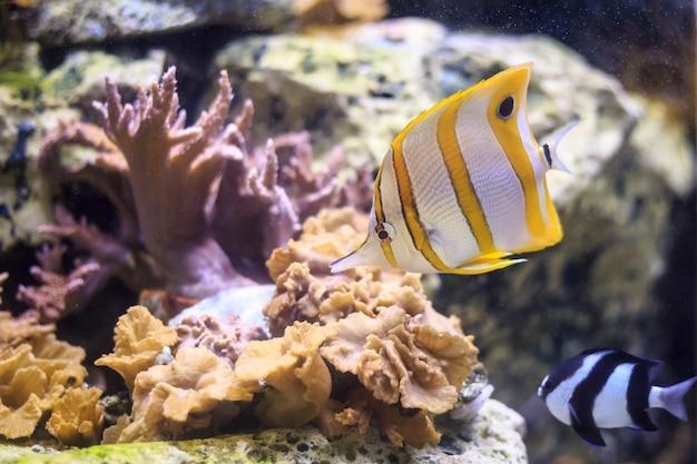 Butterflyfish tailandia di copperband subacquea