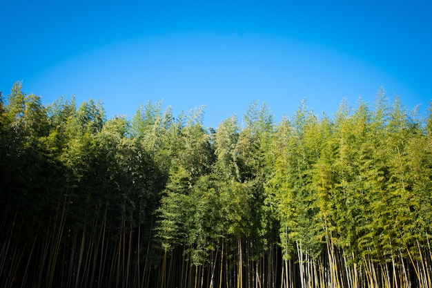 C'è una foresta di bambù sotto il cielo blu.