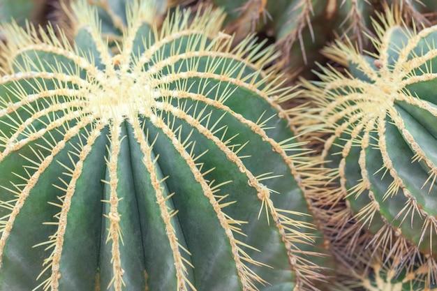 Cactus di barilotto dorato, pianta di echinocactus grusonii, primo piano