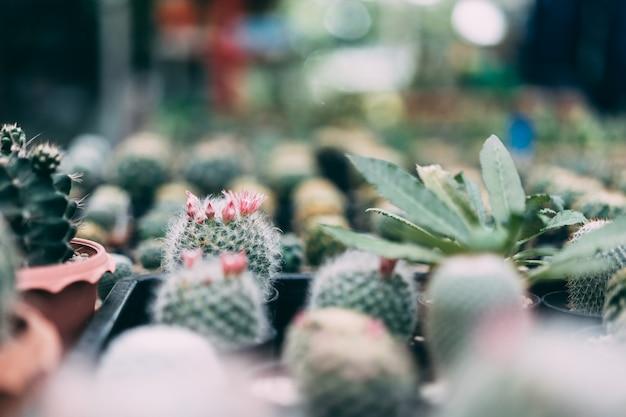 Cactus in vaso nero sul fondo leggero della natura.