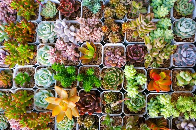 Cactus succulente in miniatura