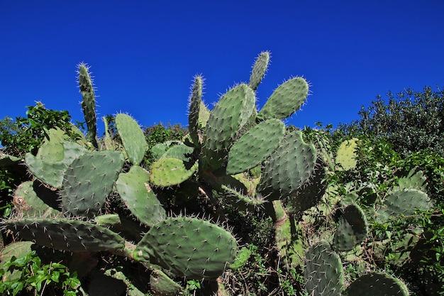 Cactus sulla costa mediterranea in algeria, africa