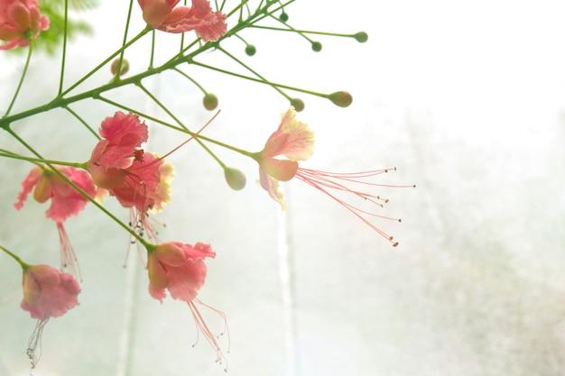 Caesalpinia pulcherrima nel giardino, lascia spazio sul muro di cemento.