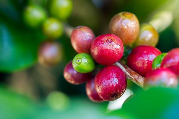 Caffè fresco del primo piano sugli alberi e gocce di acqua alla luce solare di mattina.