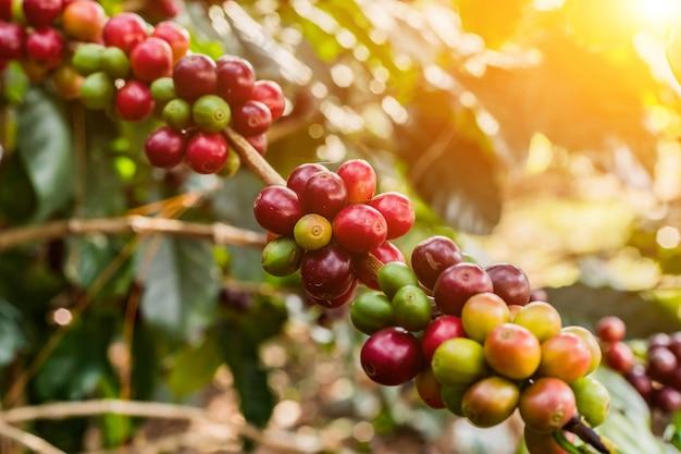 Caffè sul chicco di caffè crudo e maturo dell'albero arabas in campo e luce solare.