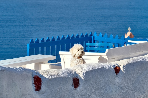 Cagnolino bianco curioso su terrase bianco a oia, santorini, grecia