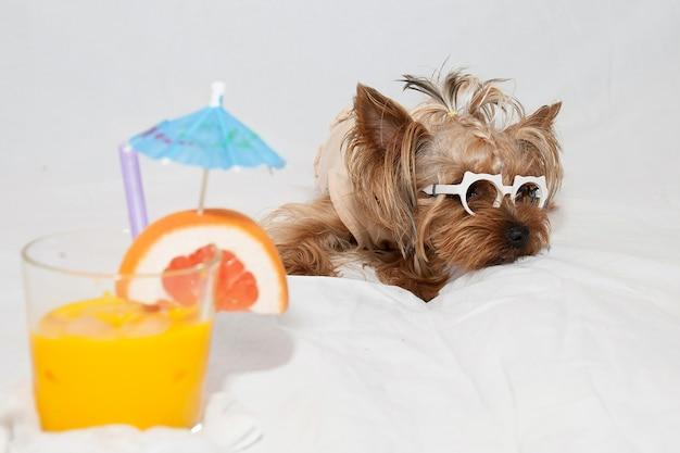 Cagnolino divertente con gli occhiali yorkshire terrier guarda lateralmente su uno sfondo bianco, accanto a un cocktail tropicale