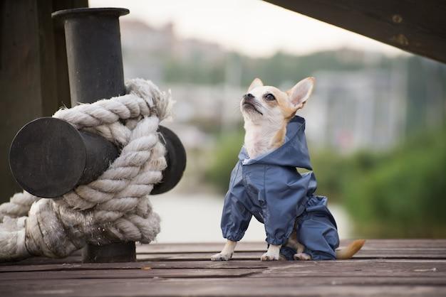 Cagnolino in abiti per una passeggiata