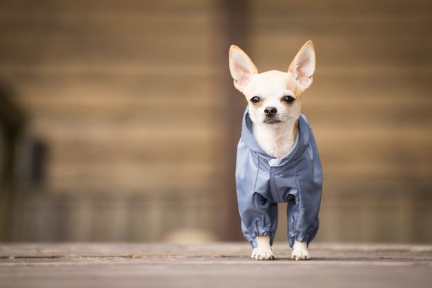 Cagnolino in vestiti per una passeggiata.