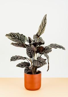 Calathea ornata sanderiana in un vaso di fiori arancione