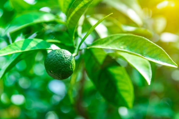 Calce verde su un albero in una fattoria
