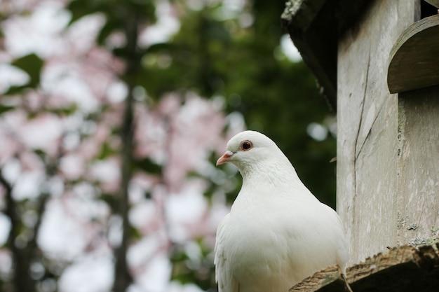 Caldo orizzontale di un bellissimo piccione bianco con uno sfocato
