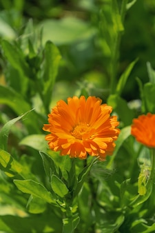 Calendula dei fiori d'arancio nel giardino di estate.