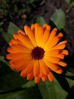 Calendula. fiore di calendula con foglia