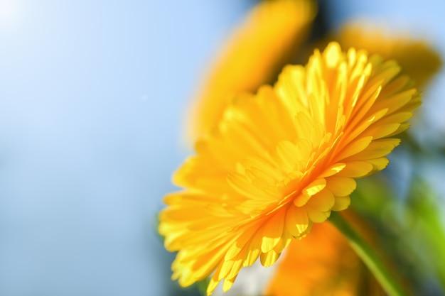 Calendula. fiore giallo soleggiato luminoso della calendula contro il cielo blu.