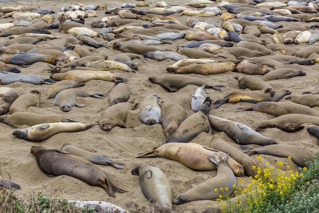 California elephant seals in piedras blancas punta big sur