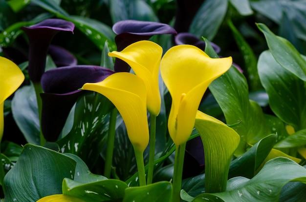 Calla gialla tre fiori nel lussureggiante giardino fiorito