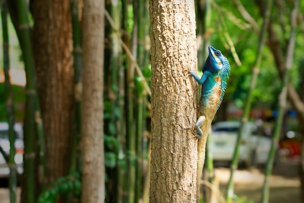 Camaleonte blu sulla trappola degli alberi la dimensione degli insetti da mangiare come cibo è l'abbondanza degli ecosistemi naturali