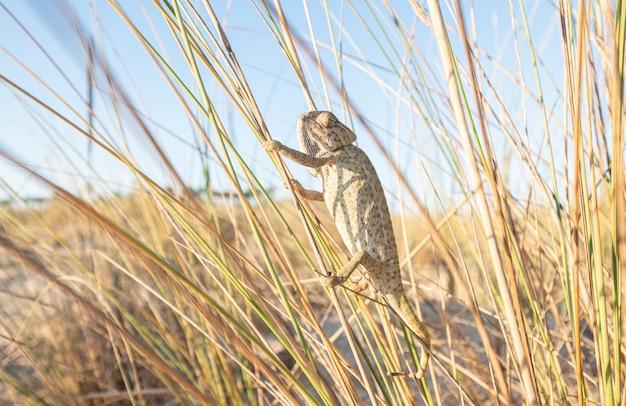 Camaleonte che si arrampica sui rami in una zona di spiaggia