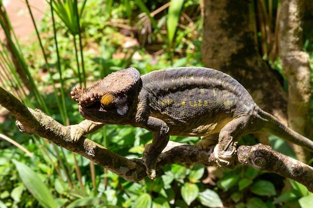 Camaleonte colorato su un ramo in un parco nazionale sull'isola del madagascar