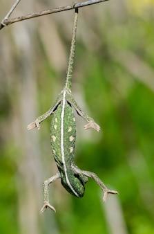 Camaleonte del bambino che equilibra su un ramoscello del finocchio.