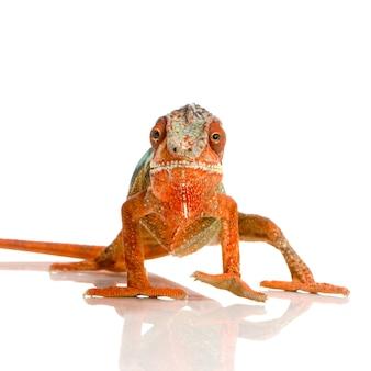 Camaleonte furcifer pardalis isolato
