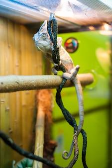 Camaleonte nel giardino zoologico