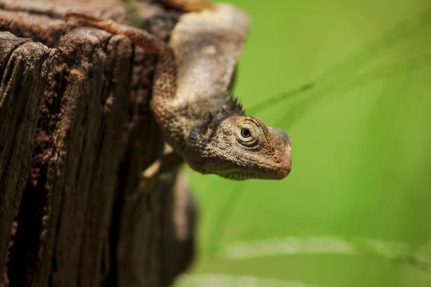 Camaleonte sul legno secco