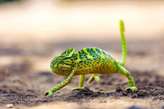 Camaleonte verde india