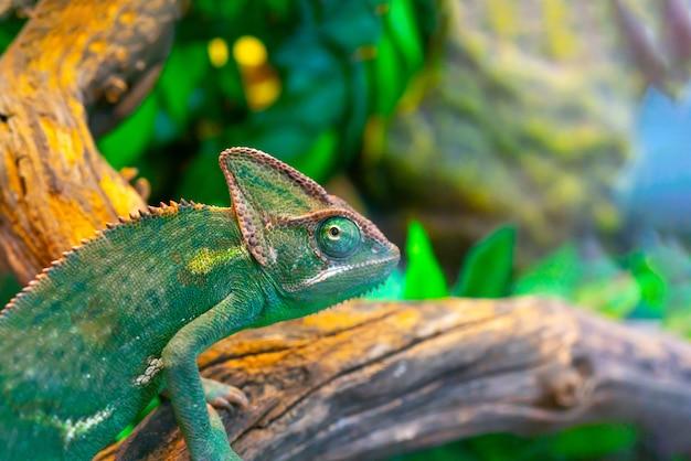 Camaleonte verde nel terrario. sguardo camaleonte.
