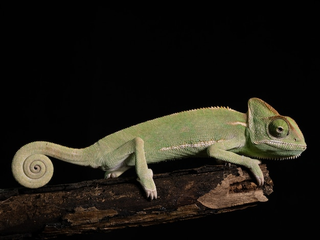 Camaleonte verde su legno, primo piano animale.