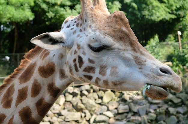 Camelopardalis africano del giraffa della giraffa in sudafrica