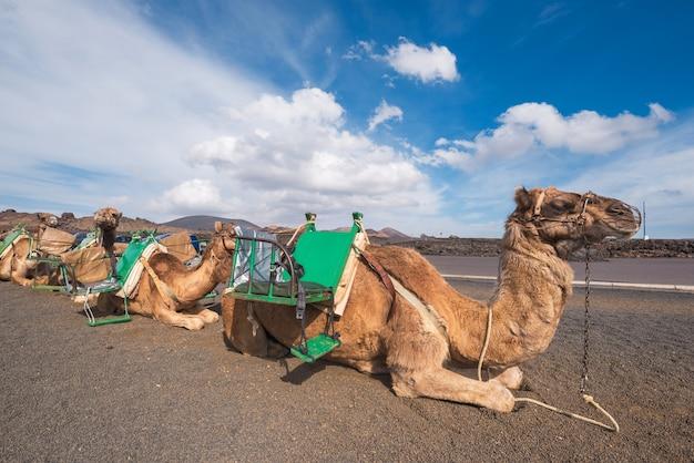 Cammelli che riposano nel paesaggio vulcanico nel parco nazionale di timanfaya, lanzarote, isole canarie