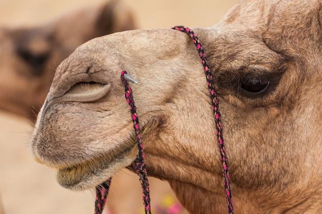 Cammelli nel deserto