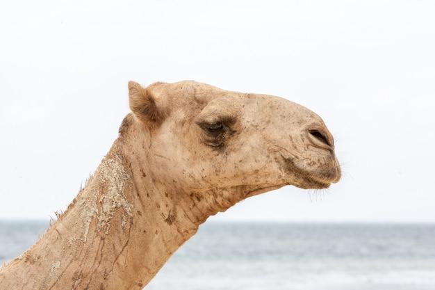 Cammello che riposa sulla riva dell'oceano