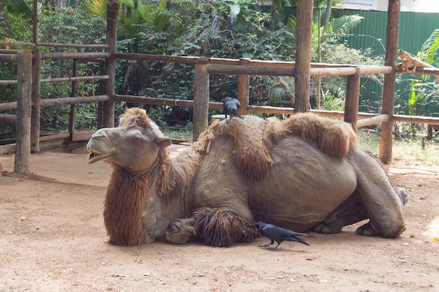 Cammello che si siede e dorme nello zoo della tailandia