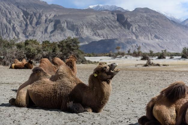 Cammello in dune di sabbia con la luce del giorno