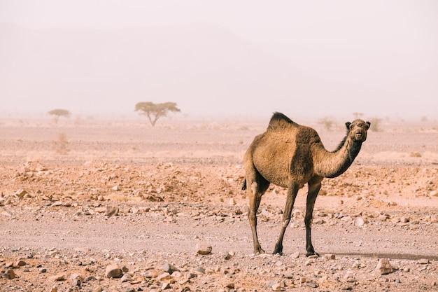 Cammello nel paesaggio del deserto in marocco