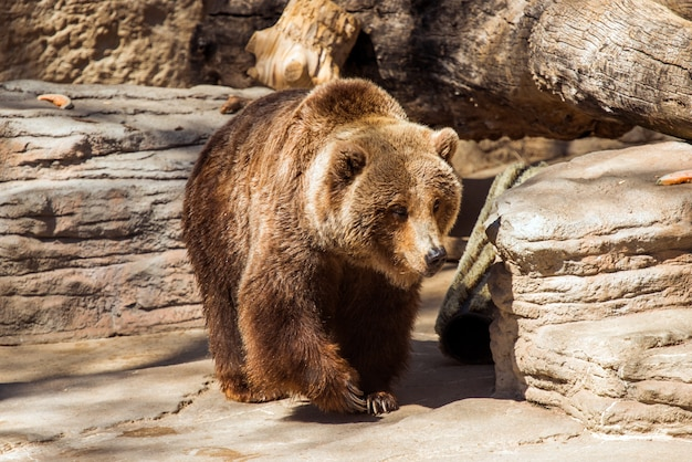 Camminare orso grizzly
