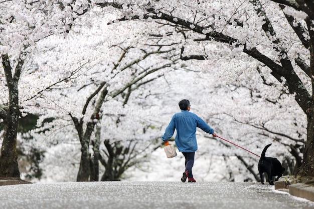 Camminatore del cane a cherry blossom path in bello giardino in primavera, matsumoto