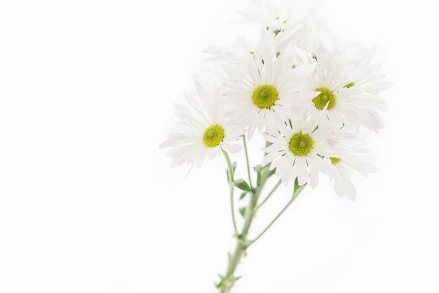 Camomilla di macro luce soffusa o fiori di camomilla isolati su sfondo bianco