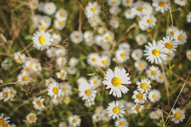 Camomilla erba sana sta crescendo sul campo estivo