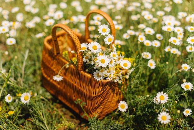 Camomille in un cestino in piedi in un campo di camomilla