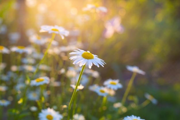 Camomille mediche di fioritura nel giorno del sole. primo piano della camomilla della farmacia.