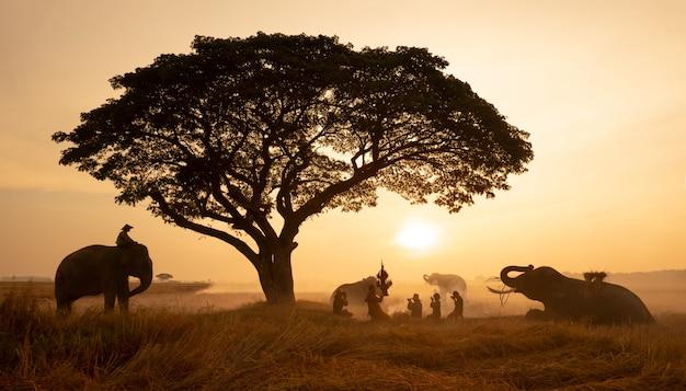 Campagna thailandese; profili l'elefante sui precedenti del tramonto, elefante tailandese in surin tailandia.
