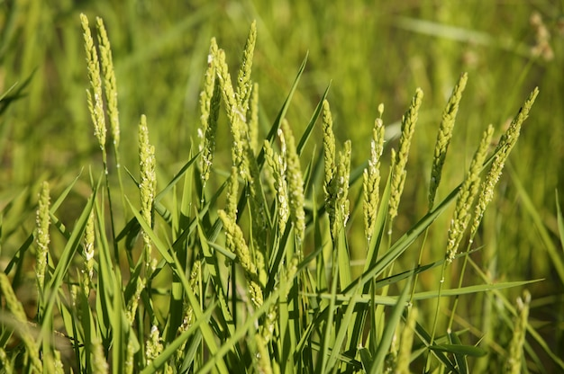 Campi di cereali di riso verde