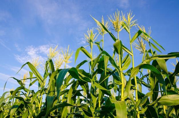 Campi di grano con cielo blu in tailandia