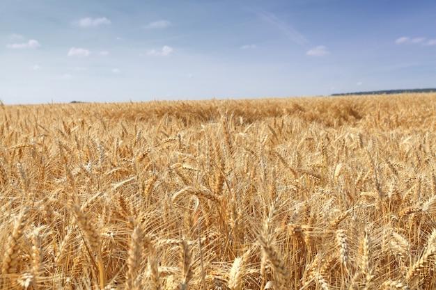 Campi di grano sotto il sole in estate prima del raccolto